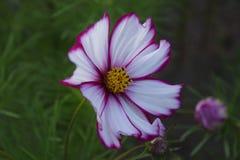 Фиолет и белизна цветка стоковое изображение rf