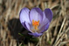 фиолет крокуса стоковая фотография