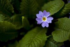 Фиолет на зеленом цвете Стоковая Фотография