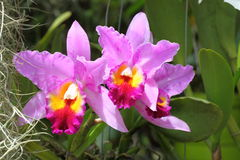фиолет орхидеи цветка cattleya Стоковая Фотография RF