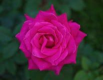 Фиолет поднял полностью цветене, взгляд крупного плана сверху стоковые фотографии rf