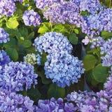 Фиолет покрасил естественные букеты цветков Hortensia в саде стоковые фото
