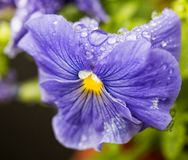 Фиолет с падениями воды стоковые фотографии rf