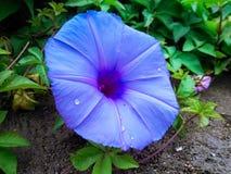 фиолет утра славы цветка цвета предпосылки естественный Стоковые Изображения RF