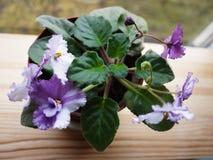Фиолет цвести в баке Красивый цветок на windowsill o стоковое фото rf