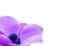 фиолет цветка ветреницы Стоковое фото RF