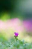 фиолет цветка Стоковые Фото