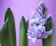 фиолет цветка Стоковая Фотография RF