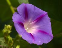 фиолет цветка Стоковое Фото