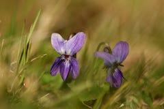 фиолет цветка Стоковое Изображение