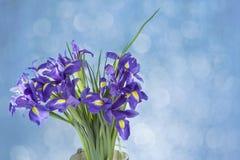 Фиолет Irises радужка xiphium луковичная, sibirica радужки на белой предпосылке с космосом для текста Взгляд сверху, плоское поло Стоковое Изображение