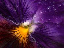 фиолет pansy Стоковые Изображения
