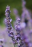 Фиолетовая лаванда цветет, конец-вверх надушенного цветка Стоковое Изображение RF
