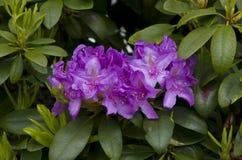 Фиолетовая азалия Стоковое фото RF