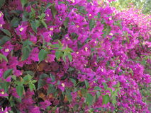 Фиолетовая азалия estending к предпосылке Стоковое Изображение