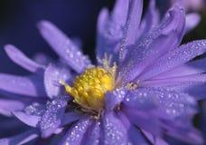 Фиолетовая астра с падениями росы Стоковые Фотографии RF
