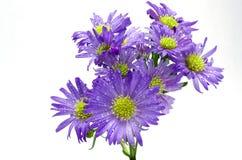 Фиолетовая астра Стоковое Фото