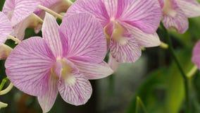 Фиолетовая белая орхидея Dendrobium стоковое фото