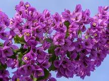 Фиолетовая ветвь бугинвилии на предпосылке голубого неба стоковые изображения