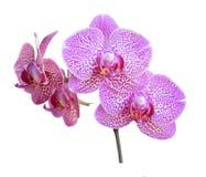 Фиолетовая ветвь орхидеи на белой предпосылке Стоковая Фотография RF