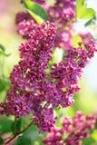 Фиолетовая ветвь цветка сирени на зеленой предпосылке стоковые изображения rf