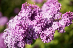 Фиолетовая ветвь цветка сирени на зеленой предпосылке Стоковые Фотографии RF