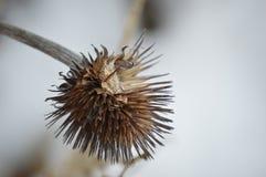 Фиолетовая голова семени цветка конуса Стоковое Фото