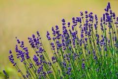 Фиолетовая деталь цветков Стоковое фото RF
