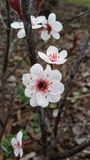 Фиолетовая зацветая вишня Стоковые Изображения