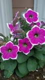 Фиолетовая и белая петунья стоковое фото rf