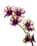 Фиолетовая и зеленая орхидея Стоковая Фотография RF