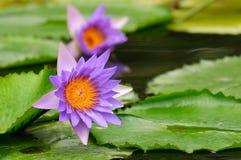 Фиолетовая лилия воды (лотос) Стоковое Изображение