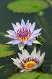 Фиолетовая лилия воды (лотос) Стоковые Изображения RF