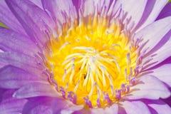 Фиолетовая лилия воды с пчелами внутрь. Стоковое Изображение RF