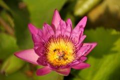 Фиолетовая лилия воды с пчелой в цветне, селективном фокусе Стоковые Фотографии RF