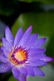 Фиолетовая лилия воды Стоковое Изображение