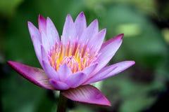 Фиолетовая лилия воды стоковые изображения