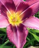 Фиолетовая лилия дня Стоковое Изображение RF