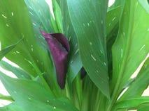 Фиолетовая лилия Calla ощущения Стоковое Фото