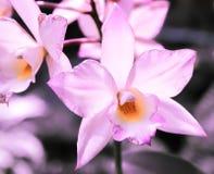 Фиолетовая и оранжевая орхидея Стоковая Фотография RF