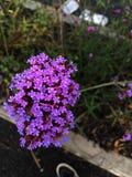 Фиолетовая колония Стоковые Фотографии RF