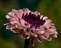 Фиолетовая мама на зеленом цвете Стоковые Изображения RF