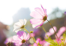 Фиолетовая маргаритка под солнечным светом Стоковая Фотография