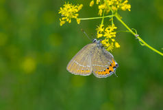 Фиолетовая медная (голубянки helle) бабочка на полевом цветке Стоковое Изображение RF