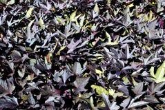 Фиолетовая лоза сладкого картофеля Стоковые Изображения RF