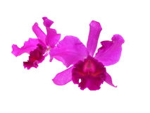 Фиолетовая орхидея изолированная на белой предпосылке Стоковая Фотография