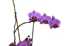 Фиолетовая орхидея на ветви Стоковые Фото