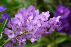 Фиолетовая орхидея Стоковое Изображение RF