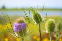 Фиолетовая одичалая ворсянка в ландшафте Стоковые Изображения RF