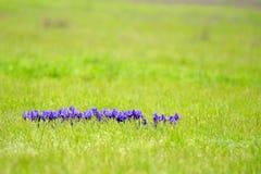 Фиолетовая одичалая радужка Стоковое Изображение